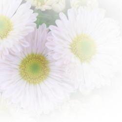 菊の花 ぼかし入り写真