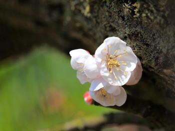 梅の花 写真