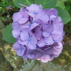 紫陽花 藤紫色