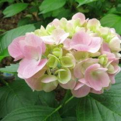 紫陽花の花 写真