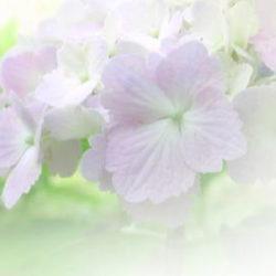 紫陽花ぼかし画像