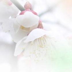 梅の花、ぼかし写真