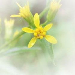 黄色花 ぼかし入り