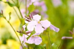 ローズ色小花 写真