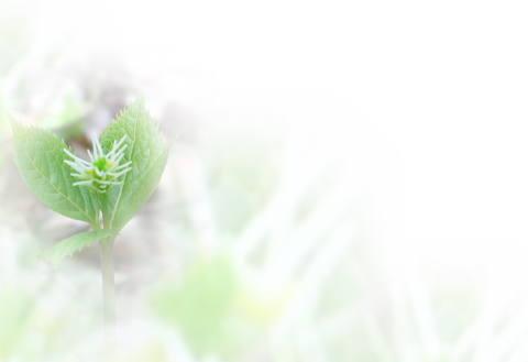 ひとりしずかの花のぼかし写真