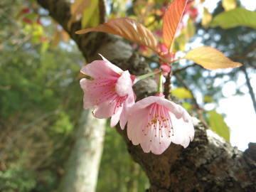 桜の花 写真