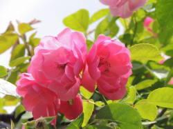 赤薔薇の花 写真ミニ