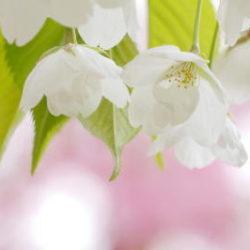 白花ローズ背景