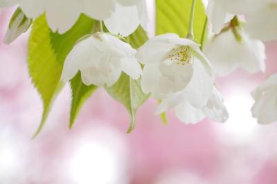 白花、ローズぼかし背景